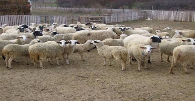 49 Çiftçiye Hayvanları Teslim Edildi