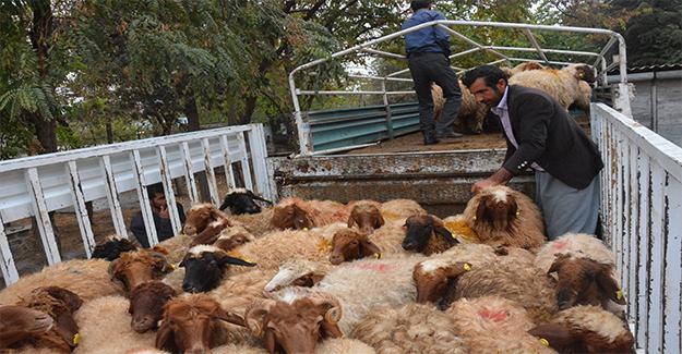 Çiftçilere Hibe Koyunlar Dağıtıldı