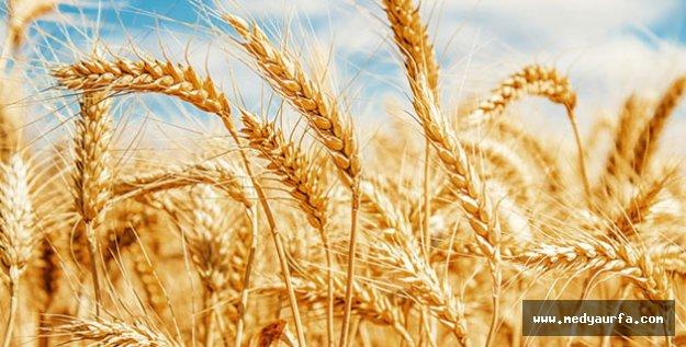 Buğday 1,12 Liradan İşlem Gördü