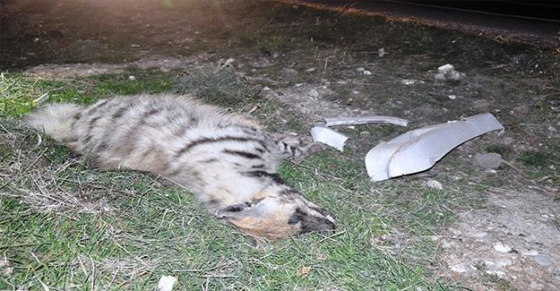 Şanlıurfa'da Çizgili Sırtlan Kazada Telef Oldu