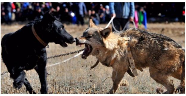 Şanlıurfa'da Köpek Dövüştürenlere Ceza