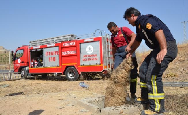 Arıtma kuyusuna düşen 37 koyun kurtarıldı