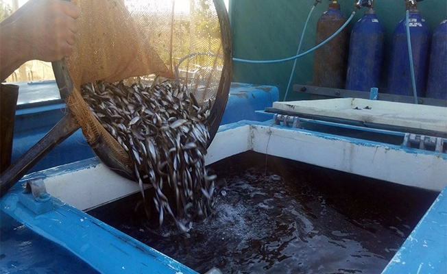 Akdeniz ve Güneydoğu Anadolu'nun balıkları Urfa'dan
