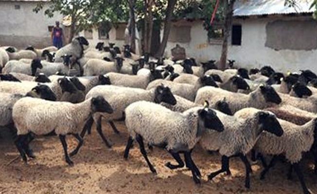 Ceylanpınar'da 25 koyun telef oldu