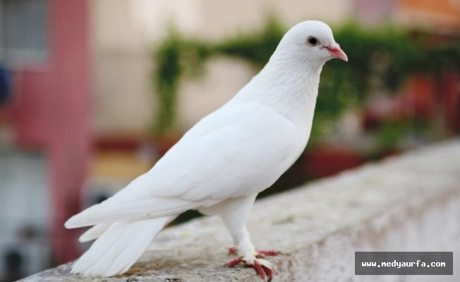 Güvercin katilleri yakalandı