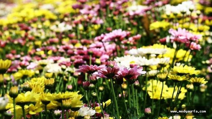 Osmaniye'den Şanlıurfa'ya çiçek gönderiyor