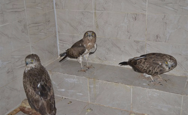 Şanlıurfa'da tedavi edilen kartallar doğaya bırakıldı