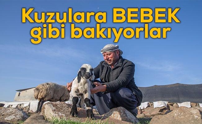 Urfa'daki besicilerin kuzu heyecanı