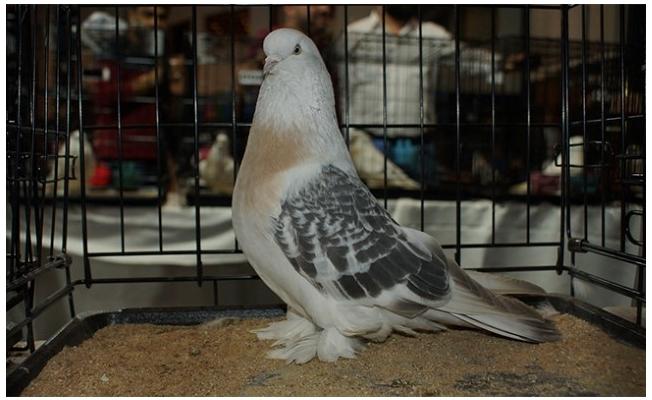 Urfa'nın Şebap güvercinleri Ankara'da yarıştı