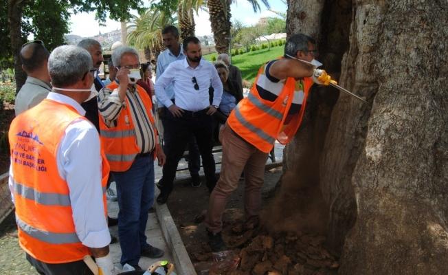 Şanlıurfa'da asırlık ağaçlara bakım yapılıyor