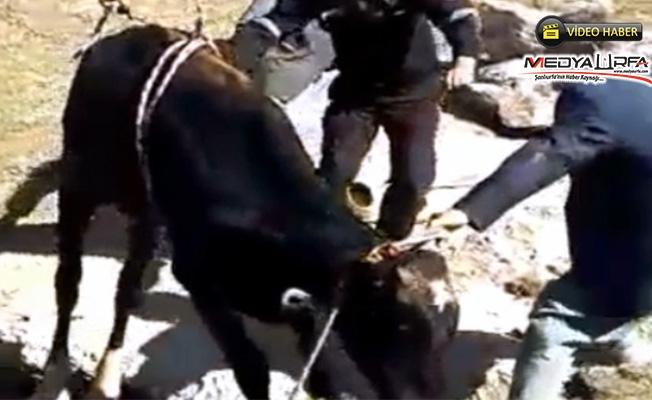 Sarnıca düşen büyükbaş hayvanı itfaiye kurtardı