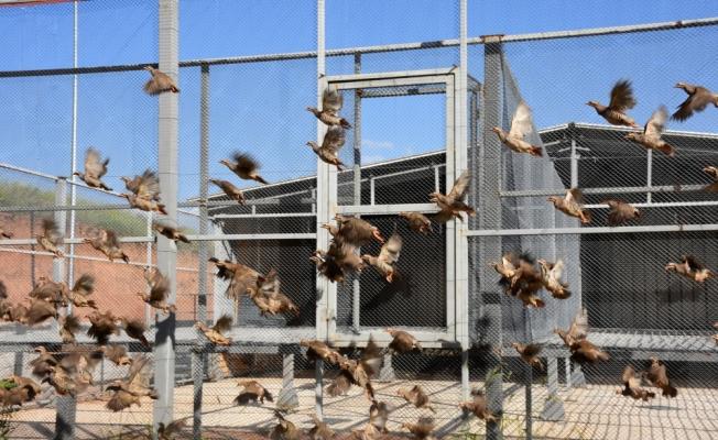 Süne avcısı kınalı keklikler yetiştiriliyor