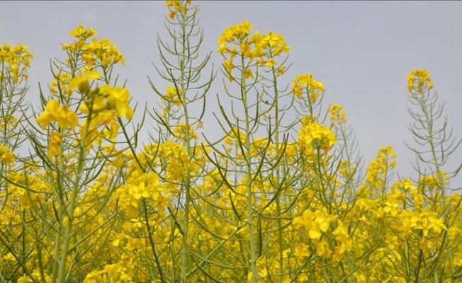 Çiftçilere 'kanola tohumu' uyarısı