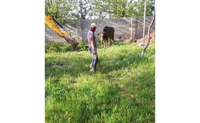 Akçakale'de foseptik çukuruna düşen inek kurtarıldı