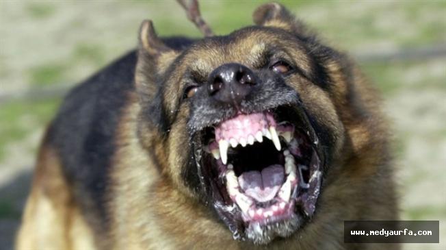 Halfeti'de köpeklerin saldırdığı öğretmen yaralandı