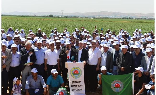 Urfalı çiftçilerin pamukta 4,5 lira talebi