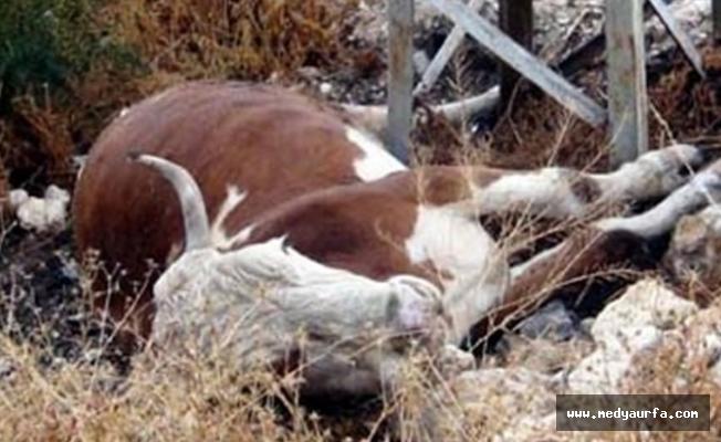 Siverek'te dumandan zehirlenen 5 inek telef oldu