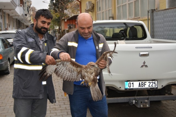 Gaziantep'te yaralı kızıl şahin bulundu