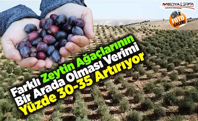 Çetiner: Zeytinin ana vatanı Güneydoğu!