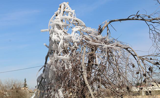 Harran'da soğuk hava ve don etkili oluyor