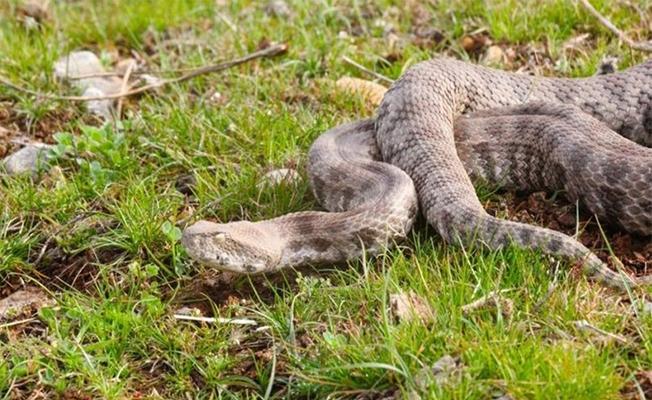 """""""Koca engerek"""" yılanı Urfa'da doğaya bırakıldı"""