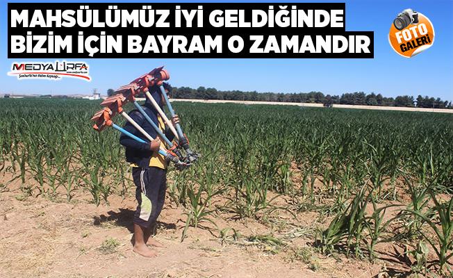 Tarım işçileri bayramda tarlanın yolunu tuttu