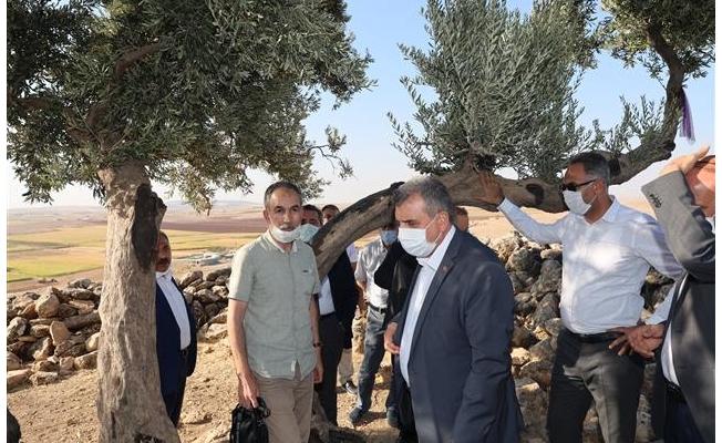 Urfa'daki bu ağaçtan tarih fışkırıyor