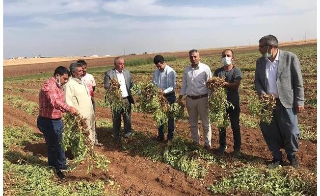Viranşehir'de ilk kez yer fıstığının hasadı yapıldı