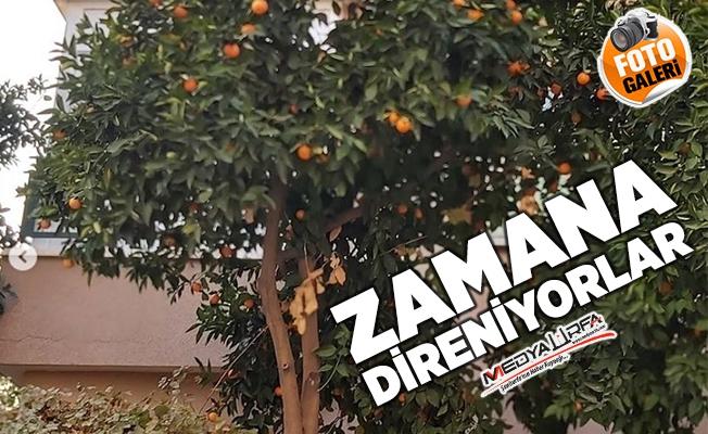 Şanlıurfa'da zamana direnen portakal ağaçları