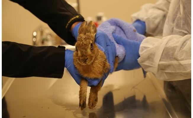 Yaralı yabani tavşan tedavisinin ardından doğaya bırakıldı
