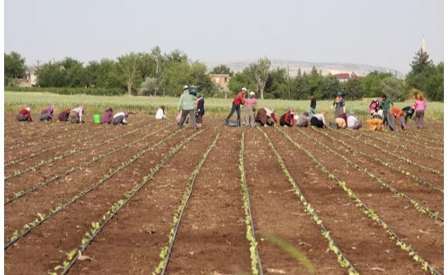 Tarım işçilerinin sıcak havada zorlu mesaisi