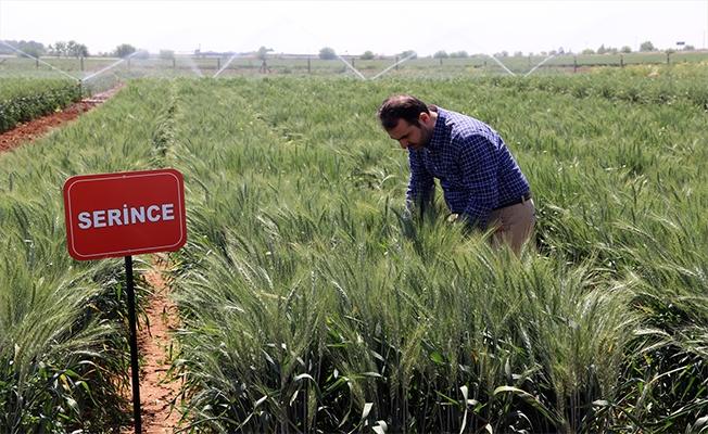 Yerli buğdaylar ile rekolte yüzde 20 artacak