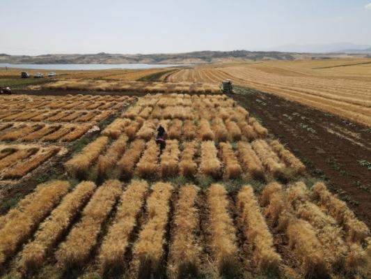 Kuraklığa Dayanıklı Buğday Geliştirme Çalışması Sürüyor