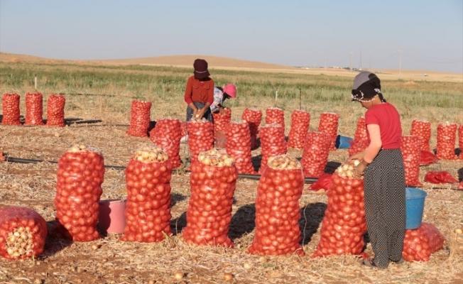 Şanlıurfa'da alternatif ürün ekimi artıyor