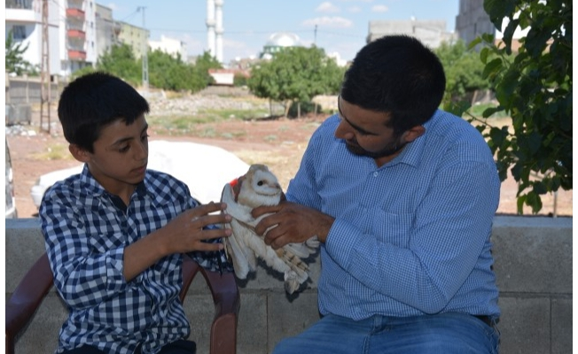Siverek'te yaralı bulunan peçeli baykuş korumaya alındı
