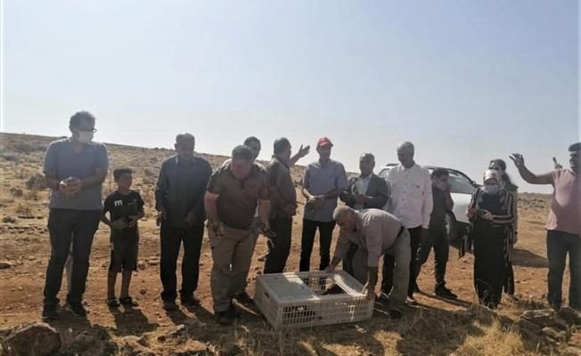 Şanlıurfa'da doğaya 1500 keklik salındı