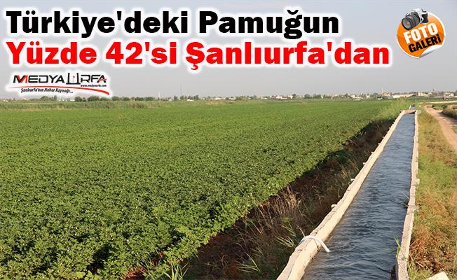 Şanlıurfa'da ekim alanı artan pamukta yüksek rekolte bekleniyor