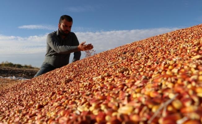 Diyarbakır'da mısırda 400 bin ton rekolte bekleniyor
