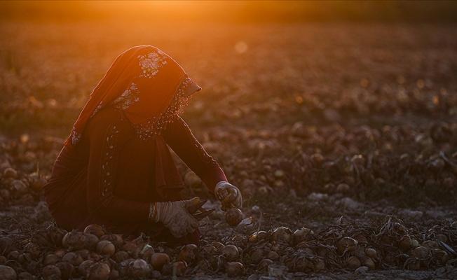Mevsimlik tarım işçilerinin zorlu mesaisi sürüyor
