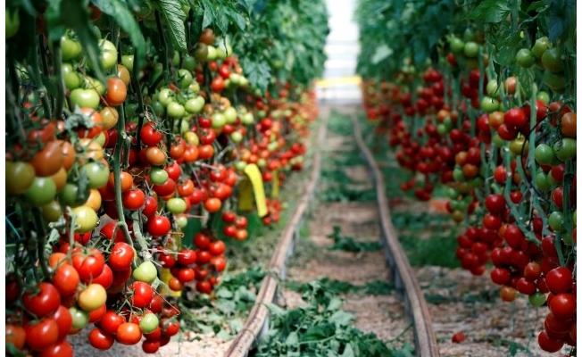 Türkiye'den 264 milyon dolarlık domates ihracatı