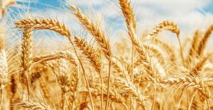 Buğday 1,02 Liradan İşlem Gördü