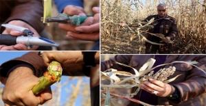 Mucize Bitki Türkiye'ye Uyum Sağladı