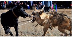 Şanlıurfa#039;da Köpek Dövüştürenlere...