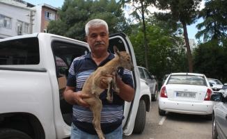 Adıyaman'da yavru dağ keçisi koruma altına alındı