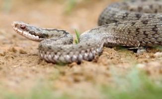 Hilvan'da yılanın soktuğu kadın hayatını kaybetti