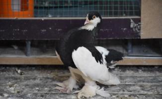 Öldü sandığı güvercini kalp masajıyla hayata döndürdü