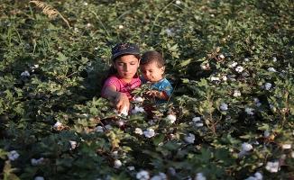 Şanlıurfa'da pamukta hasat zamanı