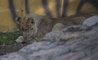 Erdoğan'a hediye edilen aslanlar yuvalarına yerleştirildi