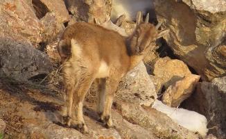 Yavru yaban keçisinin yaşam mücadelesi