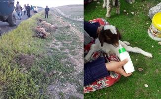 Ceylanpınar'da 27 koyun telef oldu